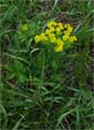 Euphorbia cyparissias, Киев, Феофания,
