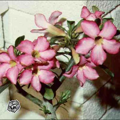 Монстера комнатные растения домашние